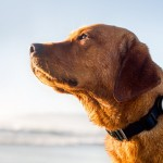 Whistle, le capteur canin